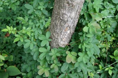 Akebia quinata (Five-leaved Akebia), habit, summer