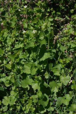 Alliaria petiolata (Garlic-mustard), habit, spring