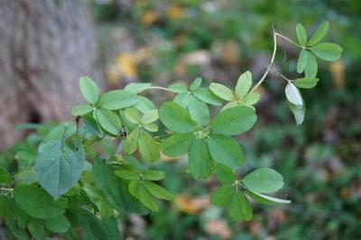 Akebia quinata (Five-leaved Akebia), leaf, fall