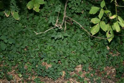 Akebia quinata (Five-leaved Akebia), habit, fall