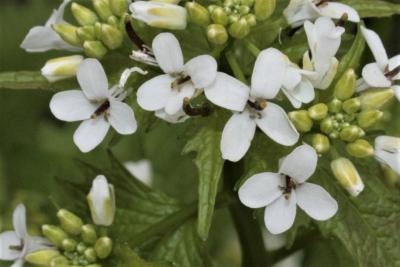 Alliaria petiolata (Garlic-mustard), flower, full