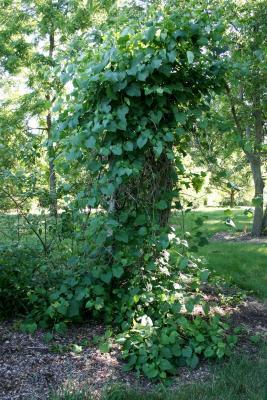 Ampelopsis cordata (Raccoon-grape), habit, summer