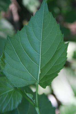 Ampelopsis cordata (Raccoon-grape), leaf, lower surface