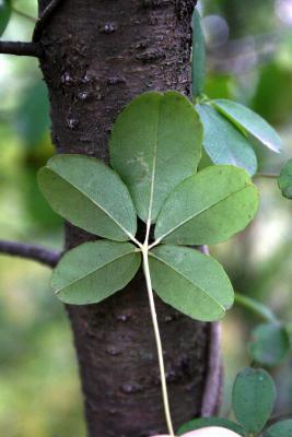 Akebia quinata (Five-leaved Akebia), leaf, lower surface