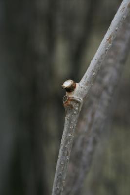 Ampelopsis cordata (Raccoon-grape), bud, lateral, bark, twig