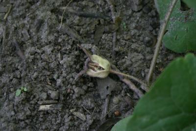 Asarum canadense (Wild-ginger), seed, fruit, mature