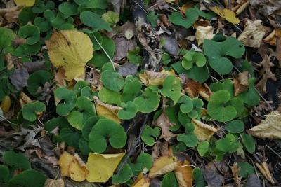 Asarum canadense (Wild-ginger), habit, fall