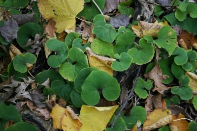 Asarum canadense (Wild-ginger), habit, fall, leaf, fall