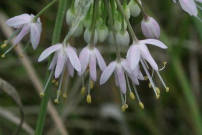 Allium cernuum (Nodding Wild Onion), flower, side