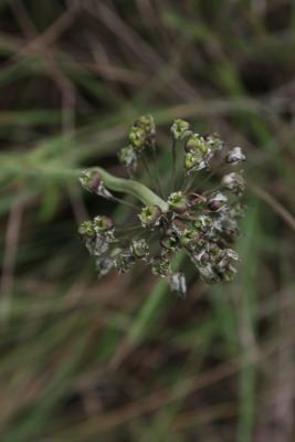 Allium cernuum (Nodding Wild Onion), infructescence