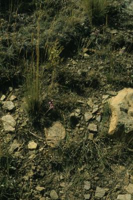 Allium cernuum (Nodding Wild Onion), habitat