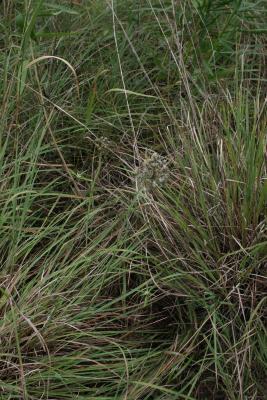 Allium cernuum (Nodding Wild Onion), habit, summer