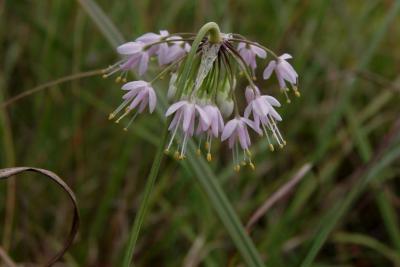 Allium cernuum (Nodding Wild Onion), inflorescence