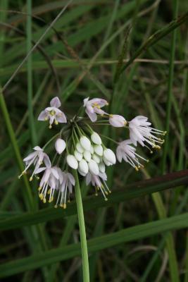 Allium cernuum (Nodding Wild Onion), bud, flower