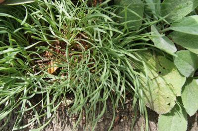 Allium lusitanicum 'Glaucum' (Blue-leaved German Garlic), habit, summer