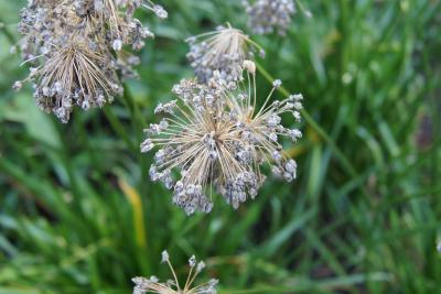 Allium lusitanicum 'Summer Beauty' (Balloon Bouquet Mountain Garlic), infructescence