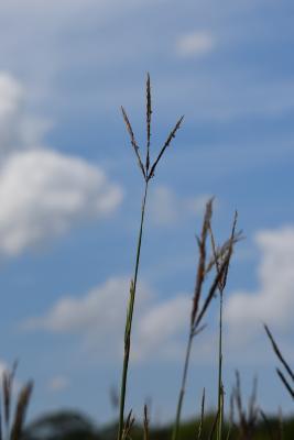 Andropogon gerardii (Big Bluestem), inflorescence