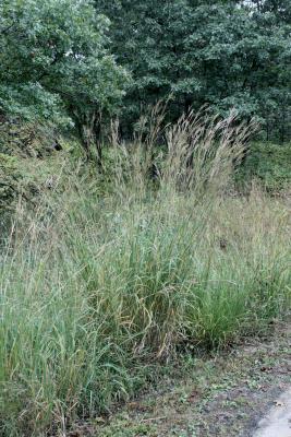 Andropogon gerardii (Big Bluestem), habitat