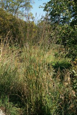 Andropogon gerardii (Big Bluestem), habit, summer