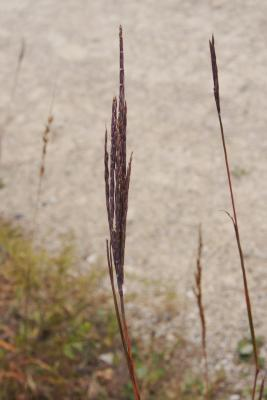 Andropogon gerardii (Big Bluestem), fruit, mature
