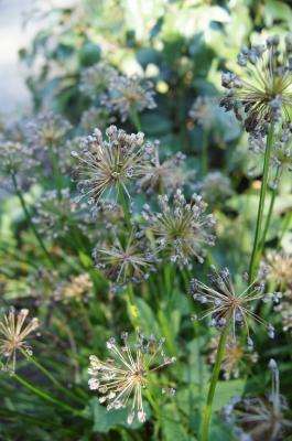 Allium lusitanicum 'Summer Skies' (Summer Beauty Mountain Garlic), infructescence