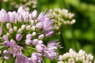 Allium lusitanicum 'Summer Beauty' (Balloon Bouquet Mountain Garlic), flower, side