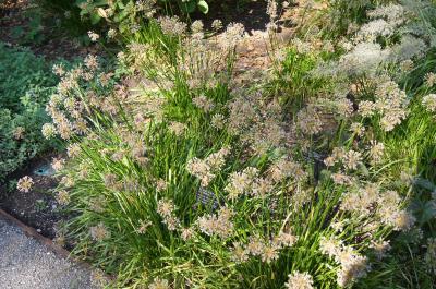 Allium lusitanicum 'Summer Beauty' (Balloon Bouquet Mountain Garlic), habit, summer