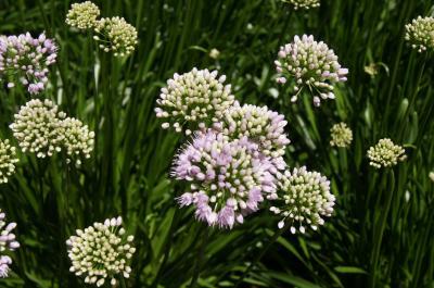 Allium lusitanicum 'Summer Beauty' (Balloon Bouquet Mountain Garlic), inflorescence