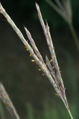 Andropogon gerardii (Big Bluestem), flower, full