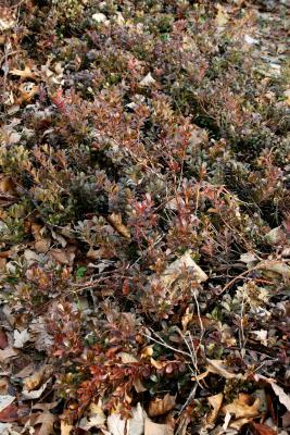 Arctostaphylos uva-ursi (bearberry), habit, winter