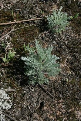 Artemisia campestris subsp. caudata (Beach Wormwood), habit, spring