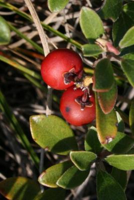 Arctostaphylos uva-ursi (bearberry), fruit, mature