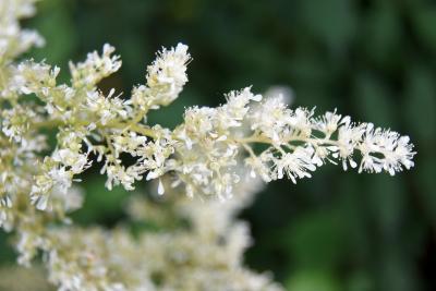 Astilbe 'Deutschland' (Deutschland Astilbe), flower, full