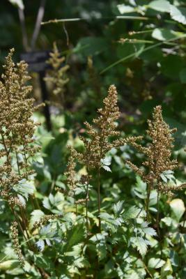 Astilbe 'Maggie Daley' (Maggie Daley Astilbe), infructescence