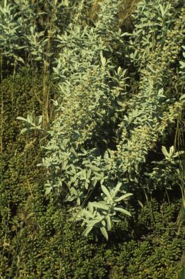 Artemisia ludoviciana (White Sage), habit, summer, leaf, summer