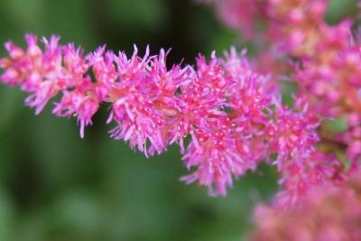 Astilbe 'Maggie Daley' (Maggie Daley Astilbe), flower, full