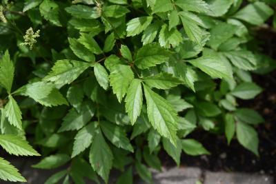 Astilbe 'Deutschland' (Deutschland Astilbe), leaf, summer