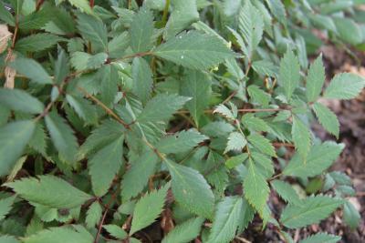 Astilbe 'Ellie' (Ellie Astilbe), leaf, summer
