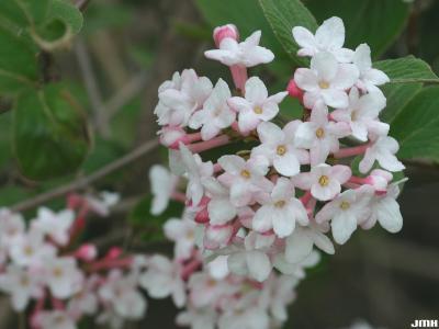 Viburnum 'Cayuga' (cayuga viburnum), inflorescence