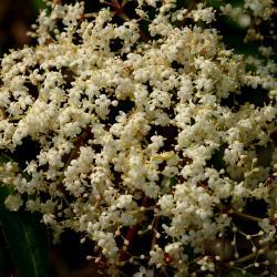 Sambucus canadensis (common elderberry), inflorescence, pistils, stamens