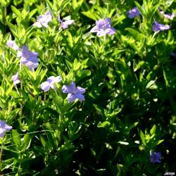 Ruellia humilis (wild petunia), flowers, leaves