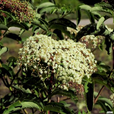 Sambucus canadensis (common elderberry), inflorescence