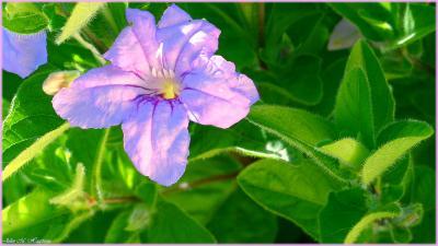 Ruellia humilis (wild petunia), flower, leaves