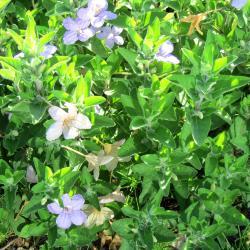 Ruellia humilis (wild petunia), leaves,  flowers