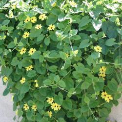 Thunbergia alata 'Sunny Lemon Star' (black-eyed Susan vine), habit, flowers, leaves