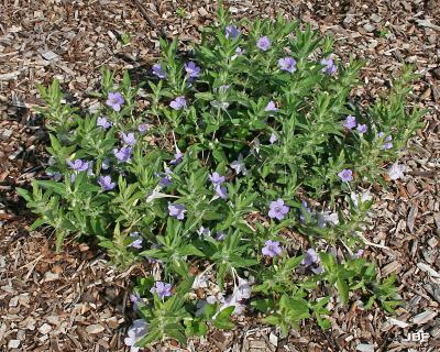 Ruellia humilis (wild petunia) habit, leaves, flowers, mulch