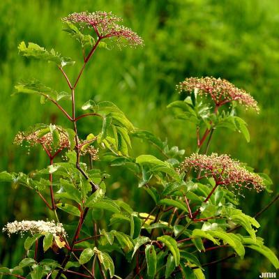 Sambucus canadensis (common elderberry), inflorescence, leaves, stems