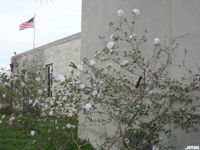 Viburnum 'Cayuga' (cayuga viburnum), habit, branches, inflorescence