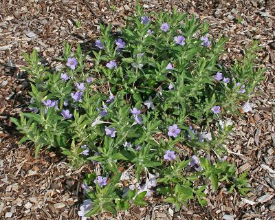 Ruellia humilis (wild petunia) mulched plants, lavender flowers, leaves, habit