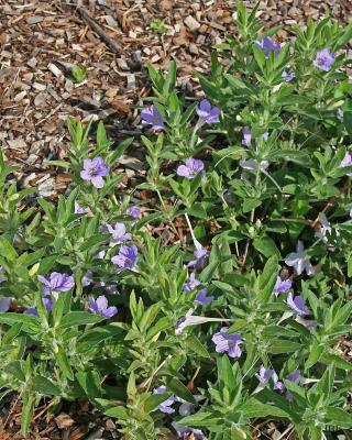 Ruellia humilis (wild petunia), flowers, leaves, mulch